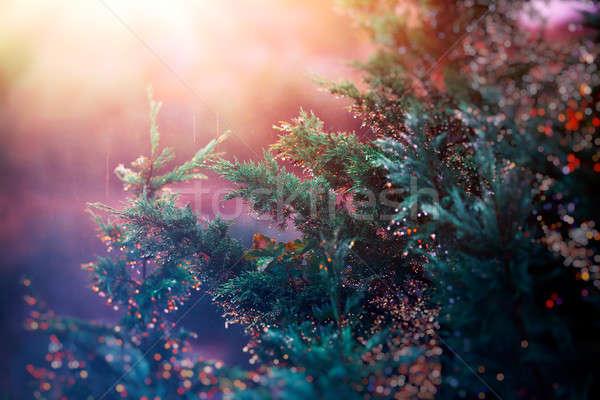Pino puesta de sol luz colorido lluvia gotas Foto stock © Anna_Om