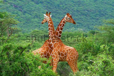 Foto stock: Lutar · dois · girafas · África · Quênia · família