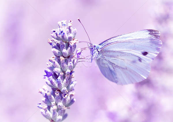 нежный бабочка лаванды цветок свет Purple Сток-фото © Anna_Om