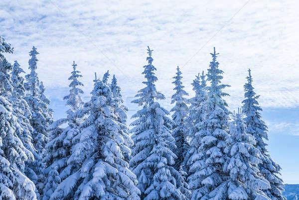 Gyönyörű tél tájkép magas fenséges fenyő Stock fotó © Anna_Om