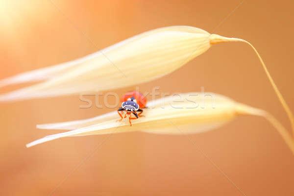 Mariquita trigo cute pequeño rojo mariquita Foto stock © Anna_Om
