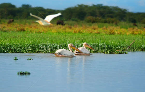 great white pelicans Stock photo © Anna_Om