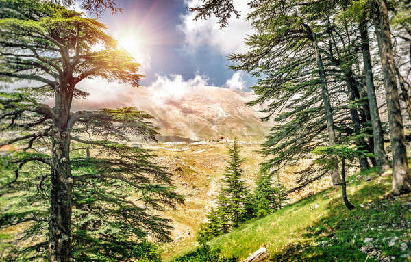 Lübnan güzel eski sedir ağaç orman Stok fotoğraf © Anna_Om