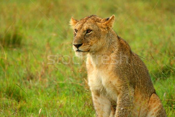 Regen wildernis afrika Kenia voorjaar kat Stockfoto © Anna_Om
