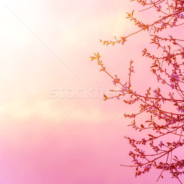 Apple tree blossom on pink sunset Stock photo © Anna_Om