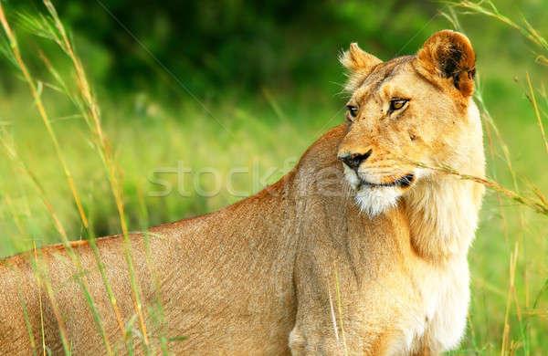 Beautiful wild africam lioness Stock photo © Anna_Om