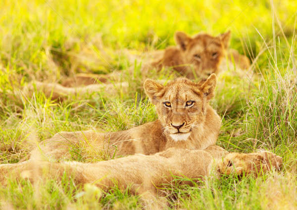 African lion cubs Stock photo © Anna_Om