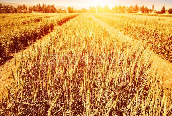 Búzamező ősz arany száraz rozs fényes Stock fotó © Anna_Om