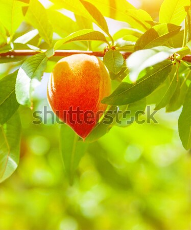 Peach tree Stock photo © Anna_Om