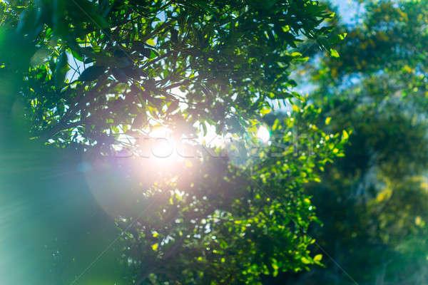 Vers groene boom loof zon weelderig bladeren Stockfoto © Anna_Om