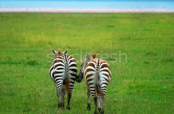 Two wild zebras Stock photo © Anna_Om