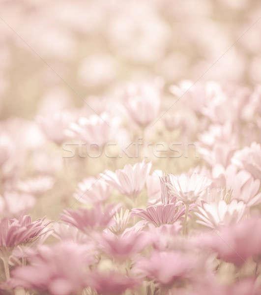Papatya çiçekler alan pembe soyut Stok fotoğraf © Anna_Om