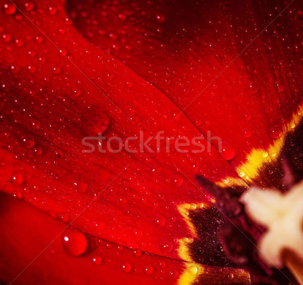 Core of red tulip  Stock photo © Anna_Om