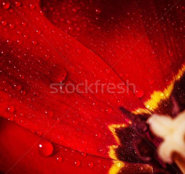 Núcleo vermelho tulipa foto abstrato Foto stock © Anna_Om