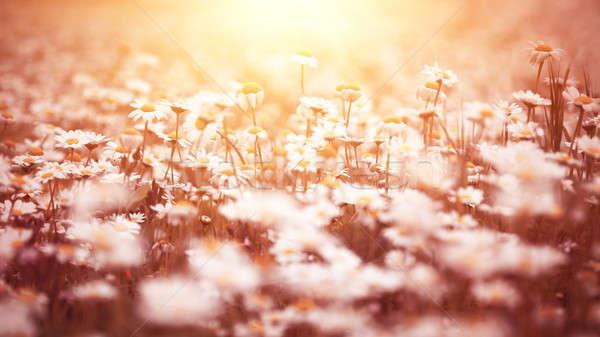 Сток-фото: красивой · Daisy · желтый · закат · свет