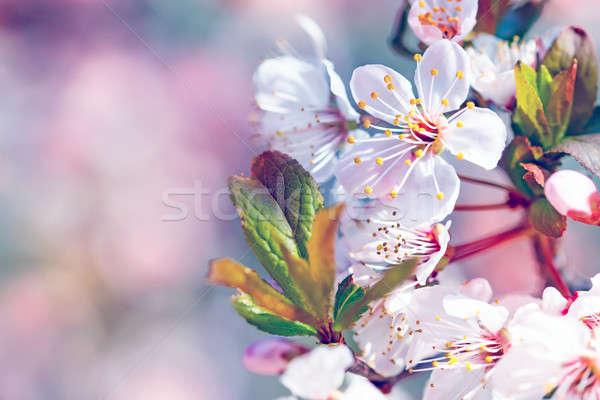 Beautiful fruit tree blooming Stock photo © Anna_Om