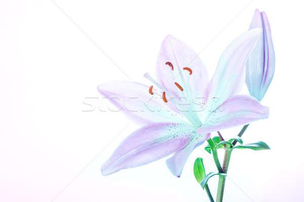 Belo lírio flor foto Foto stock © Anna_Om