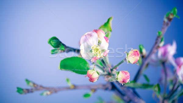 Gyengéd almafa virágok kék ég szépség tavasz Stock fotó © Anna_Om