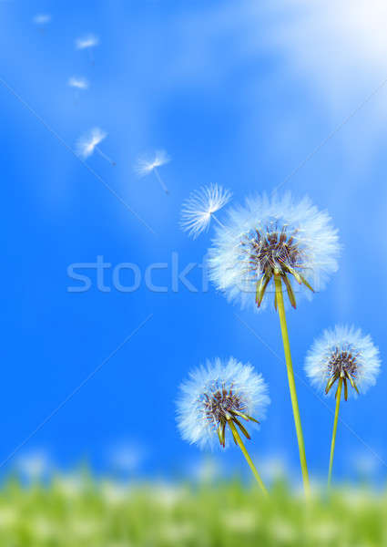 Dandelion field Stock photo © Anna_Om