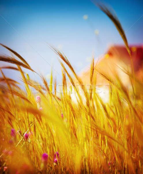 ストックフォト: 秋 · 麦畑 · 浅い · フィールド · ソフト · フォーカス