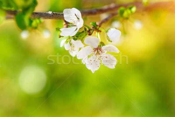 Stok fotoğraf: Güzel · elma · ağacı · nazik · küçük · beyaz · çiçekler
