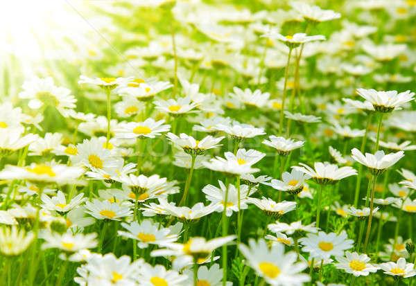 Stok fotoğraf: Bahar · alan · papatyalar · çayır · beyaz · taze