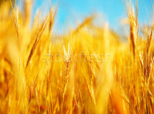 Campo de trigo paisaje primer plano imagen atención selectiva cielo Foto stock © Anna_Om