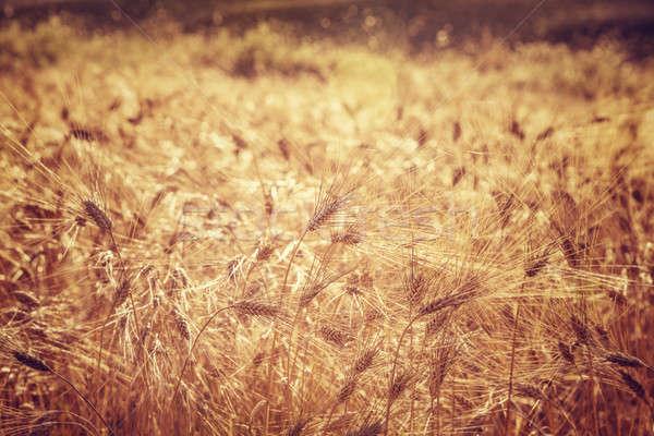 Gyönyörű búzamező grunge stílus fotó érett Stock fotó © Anna_Om