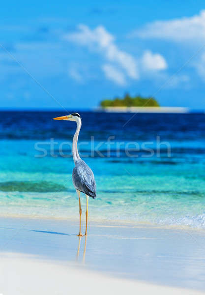 Grey heron on Maldives island Stock photo © Anna_Om