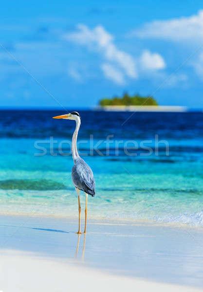 グレー 鷺 モルディブ 島 立って ビーチ ストックフォト © Anna_Om