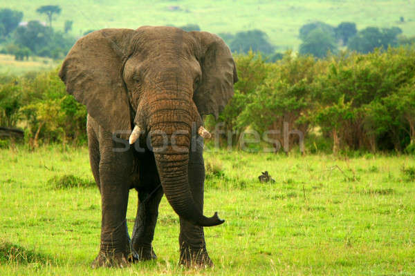 Elephant in the wild Stock photo © Anna_Om