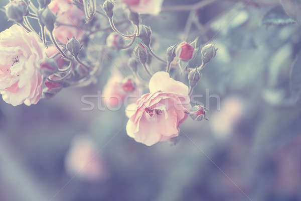 Pastel rose frontière vintage style photo Photo stock © Anna_Om