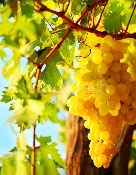 Primo piano uva crescita sereno giardino Foto d'archivio © Anna_Om