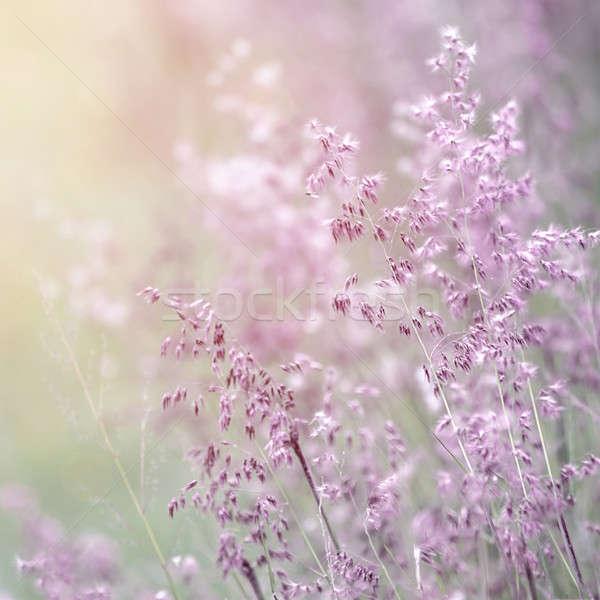 Vadvirág képzőművészet háttér gyönyörű levendula szín Stock fotó © Anna_Om