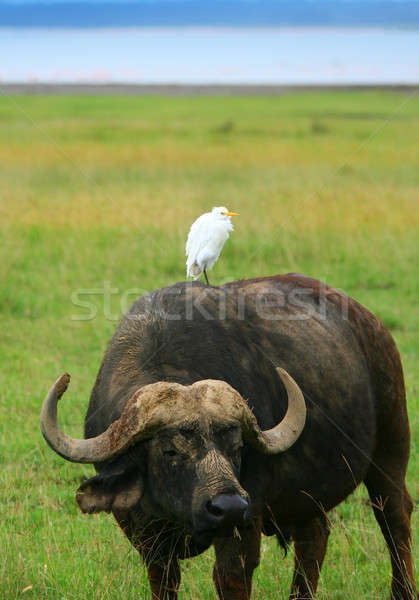 Wild Buffalo and Bird Stock photo © Anna_Om