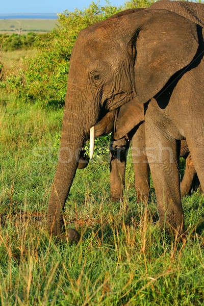 Elefante africano África Quênia primavera floresta Foto stock © Anna_Om