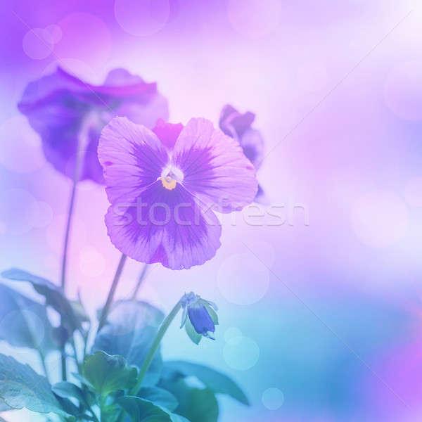 Purple pansies flowers Stock photo © Anna_Om