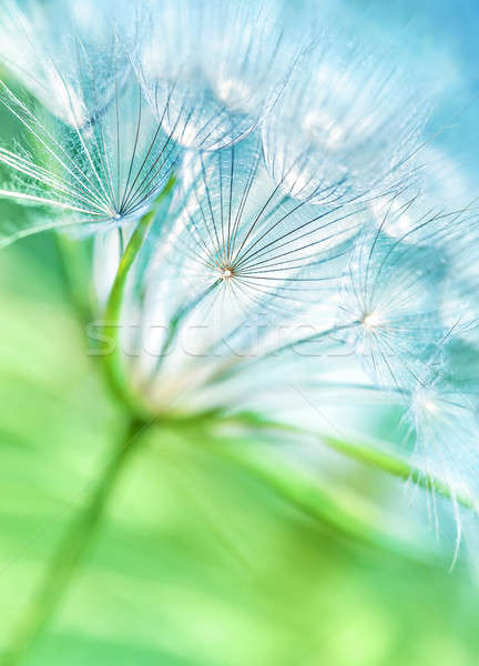 Beautiful dandelion background Stock photo © Anna_Om