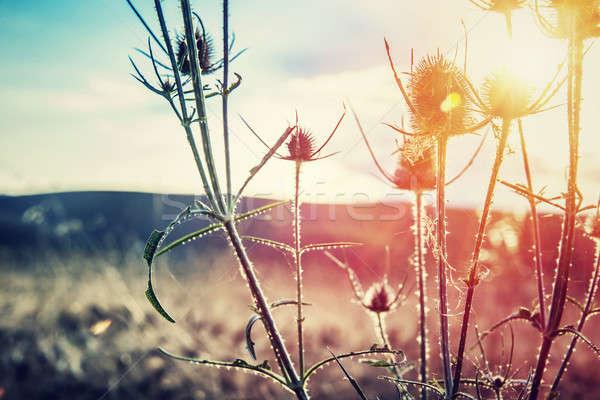 Thistle on sunset Stock photo © Anna_Om