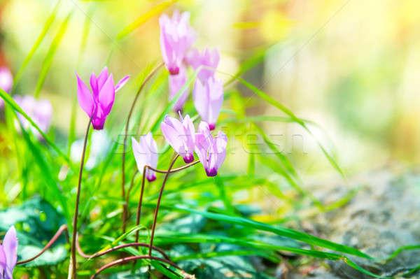 нежный розовый Полевые цветы красивой мало цветы Сток-фото © Anna_Om