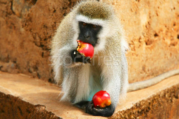 Portrait of wild hungry monkey Stock photo © Anna_Om