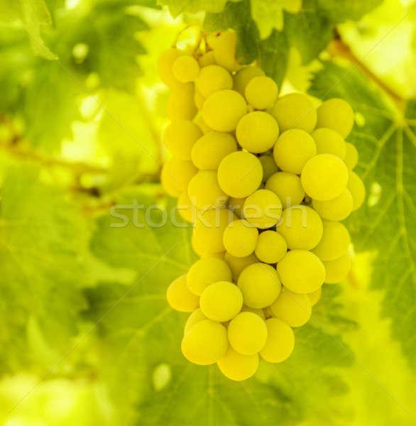 Ramo maduro branco uva folhas verdes fresco Foto stock © Anna_Om