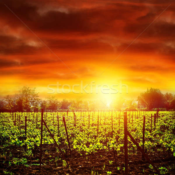 Vineyard in sunset Stock photo © Anna_Om