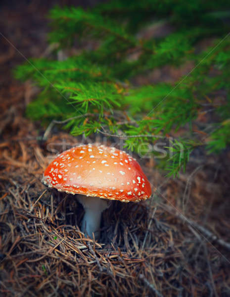 Amanita mushroom in autumn forest Stock photo © Anna_Om