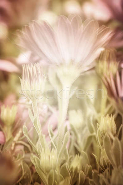 Stock photo: Pink daisy flowers