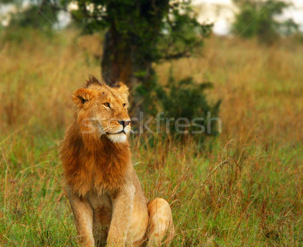 Young wild african lion Stock photo © Anna_Om