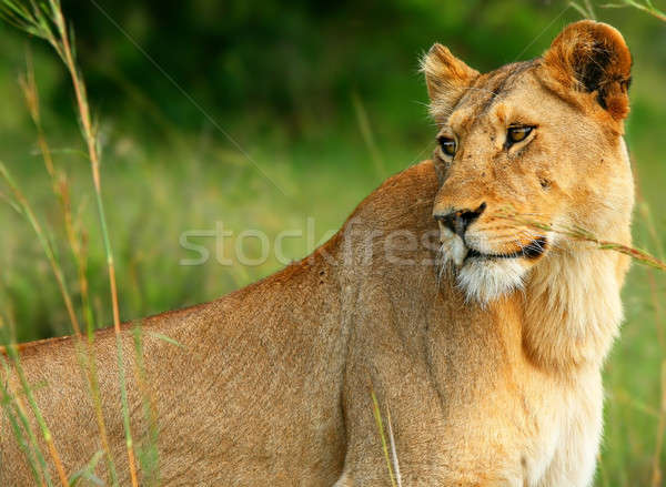 Beautiful wild africam lioness Stock photo © Anna_Om
