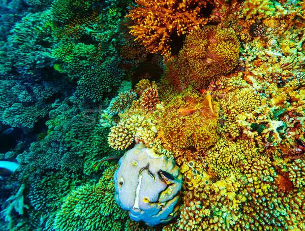 Subaquático coral belo colorido jardim maravilhoso Foto stock © Anna_Om