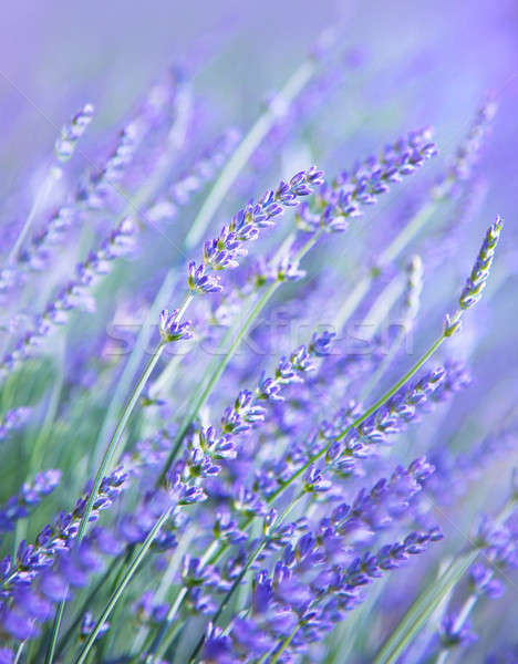 Lavender flower field Stock photo © Anna_Om
