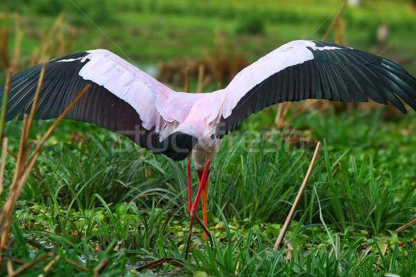 Yellow billed stork Stock photo © Anna_Om